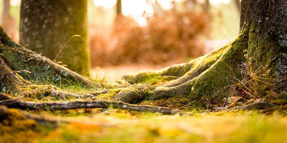 Ferienwohnung Ostsee. Baumwurzeln im Darß nahe des Werststrandes bei Darßer Ort